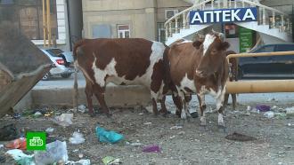 Повестки всуд иштрафы: Махачкала продолжает борьбу свыгулом коров на городских улицах