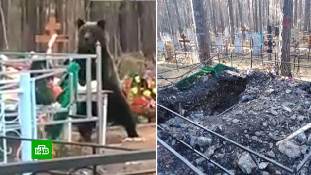 Жители Нижнего Тагила пожаловались на медведя-трупоеда.Нижний Тагил, Свердловская область, животные, кладбища и захоронения, медведи, похороны.НТВ.Ru: новости, видео, программы телеканала НТВ
