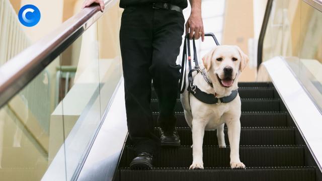 Больше чем друг: на что способна собака-поводырь.ЗаМинуту, животные, здоровье, слепые, собаки.НТВ.Ru: новости, видео, программы телеканала НТВ