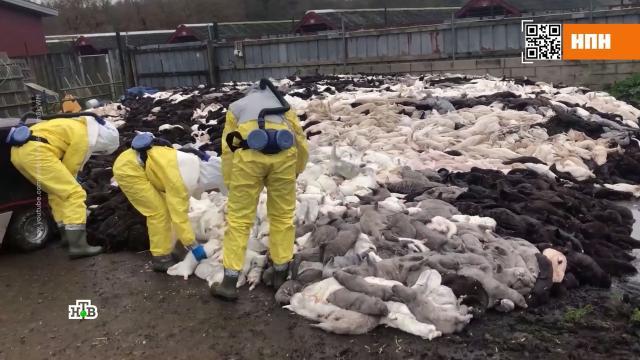 Убийство норок вДании создало дефицит шкур вмире.Дания, животные, коронавирус, эпидемия.НТВ.Ru: новости, видео, программы телеканала НТВ