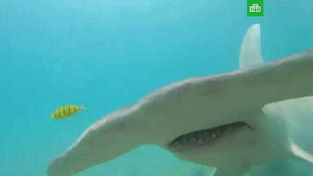 Дайвер отбился от огромной молотоголовой акулы: видео.Австралия, акулы, дайвинг.НТВ.Ru: новости, видео, программы телеканала НТВ
