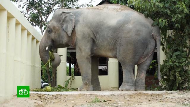 «Самый одинокий слон вмире» впервые за восемь лет встретился ссородичем.Камбоджа, Пакистан, животные.НТВ.Ru: новости, видео, программы телеканала НТВ