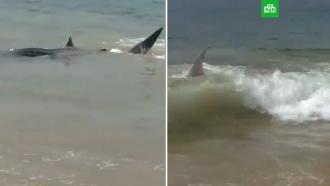 Рыбаки освободили пойманную всети китовую акулу