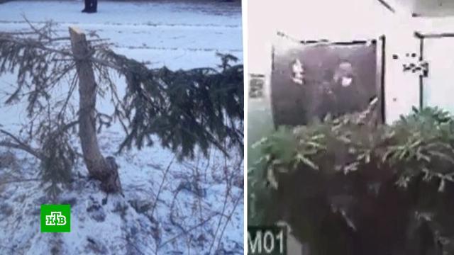 Житель Ангарска спилил вцентре города новогоднюю ель изатащил ее вквартиру.Иркутская область.НТВ.Ru: новости, видео, программы телеканала НТВ