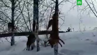 Кузбасский охотник убил собак иразвесил их по деревьям