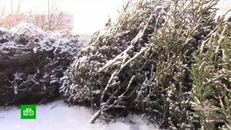 <nobr>Лесоруб-браконьер</nobr> вырубил сотни пихт на окраине кузбасского поселка