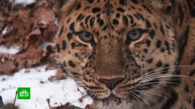 «Земля леопарда» увеличилась на 7000гектаров.Красная книга, Приморье, животные, заповедники, леопарды, тигры.НТВ.Ru: новости, видео, программы телеканала НТВ