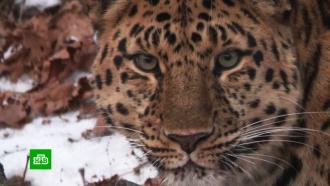 «Земля леопарда» увеличилась на 7000гектаров