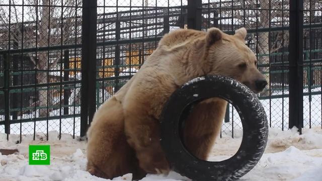 В красноярском зоопарке медведь проснулся посреди зимы.Красноярск, зима, зоопарки, медведи, погода.НТВ.Ru: новости, видео, программы телеканала НТВ