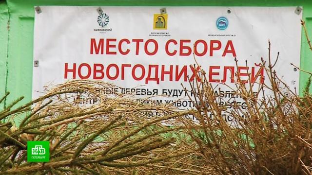В Петербурге началась утилизация новогодних елок.Новый год, Санкт-Петербург, мусор.НТВ.Ru: новости, видео, программы телеканала НТВ