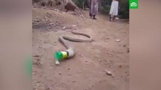 ВИндии сняли на видео, как змея мучается <nobr>из-за</nobr> пластиковой бутылки