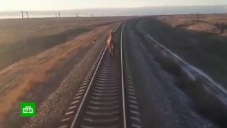 Хозяину задержавшего поезд верблюда грозит штраф