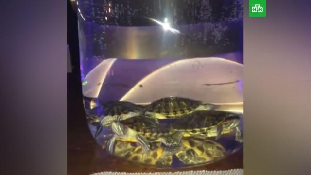 В брянском баре подавали кальян с плавающими в колбе черепахами.Брянск, рестораны и кафе, скандалы, животные.НТВ.Ru: новости, видео, программы телеканала НТВ