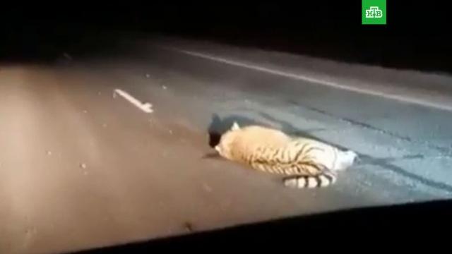 Автобус насмерть сбил амурского тигра вПриморье.ДТП, Приморье, автобусы, тигры.НТВ.Ru: новости, видео, программы телеканала НТВ