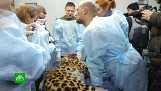 Московские хирурги прооперируют пострадавшего вДТП дальневосточного леопарда