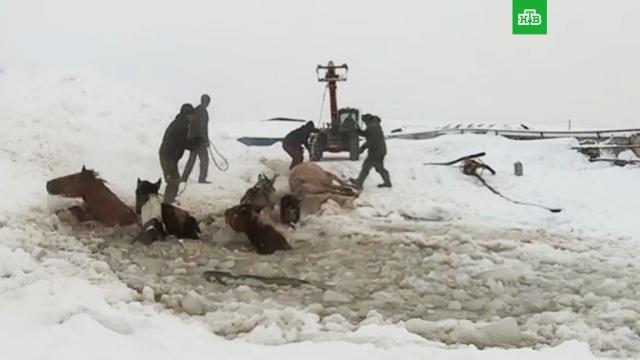 ВБашкирии спасли провалившийся под лед табун лошадей.Башкирия, животные, лед, сельское хозяйство.НТВ.Ru: новости, видео, программы телеканала НТВ