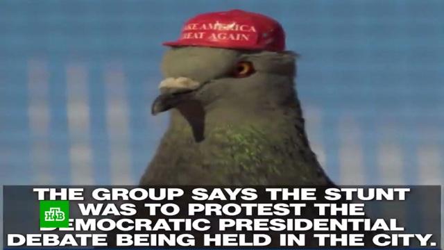 Организация PUTIN нарядила американских голубей вкрасные кепки.Трамп Дональд, выборы, курьезы, птицы, юмор и сатира.НТВ.Ru: новости, видео, программы телеканала НТВ