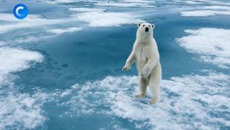 Грозные имилые: почему исчезают белые медведи