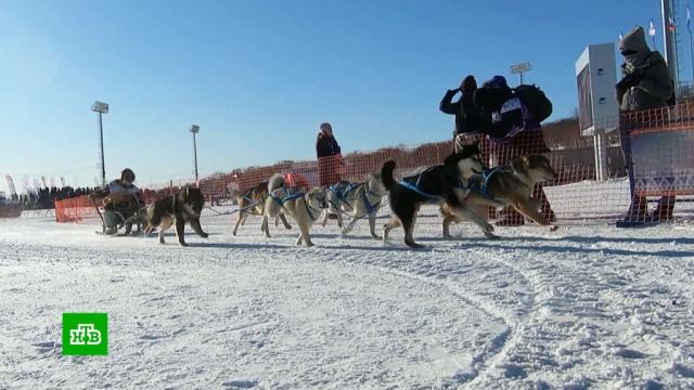 На Камчатке стартовала самая протяженная вЕвразии гонка на собачьих упряжках.Камчатка, животные, собаки.НТВ.Ru: новости, видео, программы телеканала НТВ