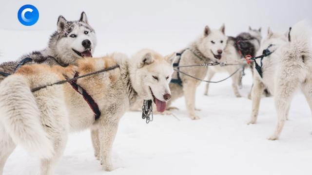 Гонка за миллионами: на собаках по снежной тундре.ЗаМинуту, Якутия, животные, снег, собаки.НТВ.Ru: новости, видео, программы телеканала НТВ