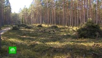 Сосновый лес уничтожается ради коттеджей на берегу Ладоги