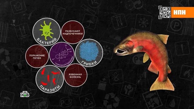 Почему не стоит покупать рыбу «с нерестовыми изменениями».еда, здоровье, продукты, рыба и рыбоводство.НТВ.Ru: новости, видео, программы телеканала НТВ