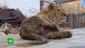 Челябинские ветеринары спасли от смерти больного львенка, ненужного хозяину