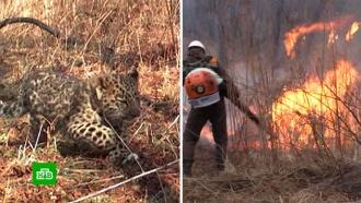 Детеныша дальневосточного леопарда спасли от пожара вПриморье: видео