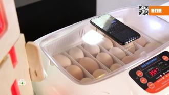 Невидимая угроза: излучение смартфона изучили на куриных яйцах.Каждый второй человек проводит в телефоне 5 с половиной часов в сутки, а каждый четвертый — 8 часов, а это полноценный рабочий день. Ученые спорят, какие последствия для здоровья несет такой плотный контакт с гаджетами. Одни говорят, что опасное излучение — это байки из прошлого века, другие уверены, что оно провоцирует онкологические и прочие опасные болезни.гаджеты, здоровье, технологии.НТВ.Ru: новости, видео, программы телеканала НТВ