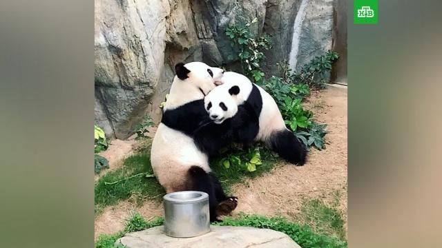 В опустевшем зоопарке Гонконга начали спариваться краснокнижные панды.На фоне пандемии коронавируса в Гонконге временно закрыли для посетителей зоопарк Ocean Park. После этого там начали спариваться большие панды, которых безуспешно пытались «свести» почти 10 лет.Гонконг, животные, зоопарки, карантин, коронавирус, панды.НТВ.Ru: новости, видео, программы телеканала НТВ