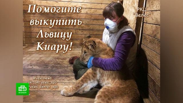 Питерские зоозащитники собирают деньги для спасения истощенной львицы.Ленинградская область, Санкт-Петербург, благотворительность, животные, львы.НТВ.Ru: новости, видео, программы телеканала НТВ
