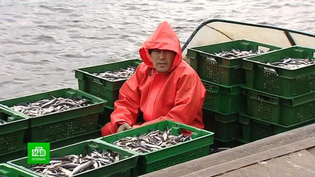 Из-за перекупщиков петербургская корюшка превратилась вделикатес.Санкт-Петербург, законодательство, рыба и рыбоводство, торговля.НТВ.Ru: новости, видео, программы телеканала НТВ