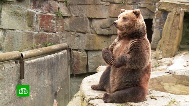 Медведи и еноты в зоопарке Калининграда тоскуют без посетителей.Калининград, животные, зоопарки, карантин, медведи, эпидемия.НТВ.Ru: новости, видео, программы телеканала НТВ