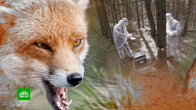 Больные бешенством лисы атаковали московские парки.бешенство, ветеринария, животные, Москва, парки и скверы.НТВ.Ru: новости, видео, программы телеканала НТВ
