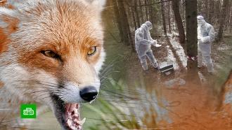 Больные бешенством лисы атаковали московские парки