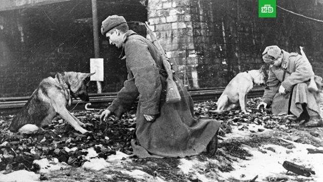 Верные бойцы: фронтовые собаки иих подвиги.Великая Отечественная война, Вторая мировая война, ЗаМинуту, собаки.НТВ.Ru: новости, видео, программы телеканала НТВ