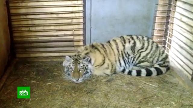 Приморские зоологи выясняют, почему удикого тигренка слишком спокойный нрав.Амурская область, Красная книга, Приморье, ветеринария, животные, тигры.НТВ.Ru: новости, видео, программы телеканала НТВ