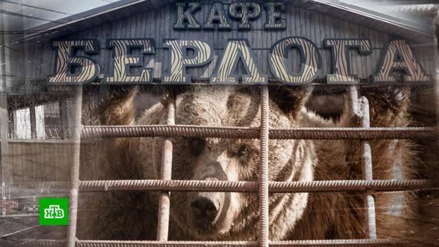 На Урале медведю из придорожного кафе ищут новый дом после смерти хозяина.Челябинск, Челябинская область, животные, медведи, приюты для животных.НТВ.Ru: новости, видео, программы телеканала НТВ