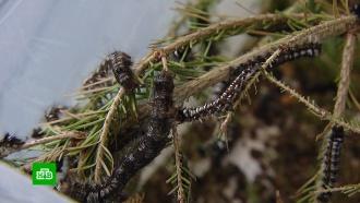 Сибирский шелкопряд вКрасноярском крае стремительно пожирает тайгу