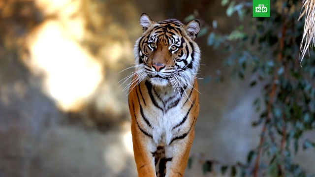 Последние тигры: хищники, которые могут полностью исчезнуть.животные, ЗаМинуту, тигры.НТВ.Ru: новости, видео, программы телеканала НТВ