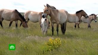 Фетисов иоренбургский губернатор «усыновили» лошадей Пржевальского
