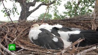 Осиротевших птенцов краснокнижных аистов подкладывают в чужие гнезда