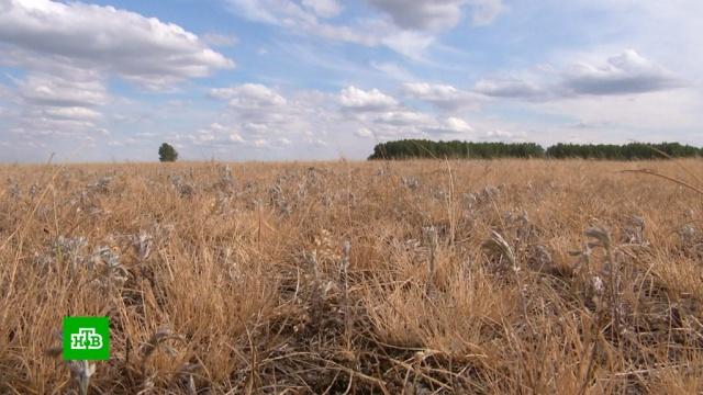 Ущерб сибирских аграриев от сильнейшей за 10лет засухи оценивается вмиллиард рублей.Новосибирская область, Сибирь, жара, засуха, погода, сельское хозяйство, экономика и бизнес.НТВ.Ru: новости, видео, программы телеканала НТВ