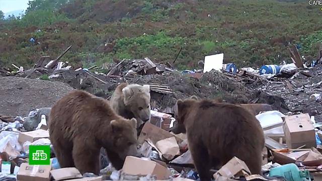 На Сахалине голодные медведи убивают людей инападают на домашний скот.Курилы, Сахалин, животные, медведи.НТВ.Ru: новости, видео, программы телеканала НТВ