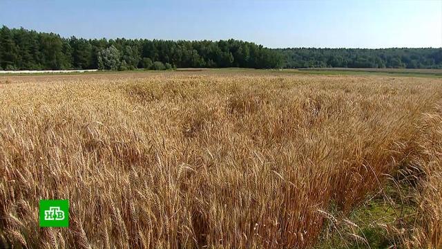 ВПодмосковье готовятся куборке рекордного урожая пшеницы.Московская область, сельское хозяйство, урожай.НТВ.Ru: новости, видео, программы телеканала НТВ