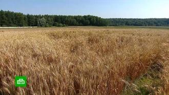 ВПодмосковье готовятся куборке рекордного урожая пшеницы