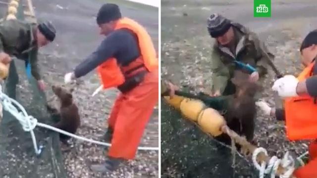 Сахалинские рыбаки спасли запутавшегося всетях медвежонка.Сахалин, животные, медведи, рыба и рыбоводство.НТВ.Ru: новости, видео, программы телеканала НТВ