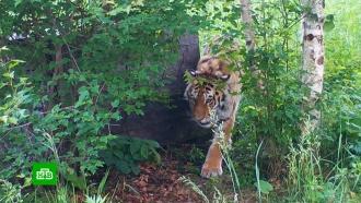 ВПриморье спасенная осиротевшая тигрица научилась охотиться