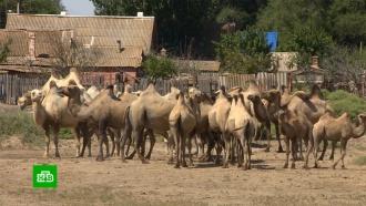 Жители астраханских сел жалуются на терроризирующих их <nobr>верблюдов-вандалов</nobr>