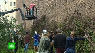 Петербуржцы поднимают на стену дома сорванный ветром декоративный виноград